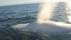 migaloo-est-la-seule-baleine-a-bosse-entierement-blanche-connue-jusqu-a-aujourd-hui-elle-pourrait-etre-atteinte-de-leucistisme-ou-d-hypopigmentation_62715_w250
