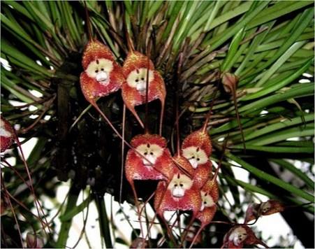 ochidée-singe-fleur-2