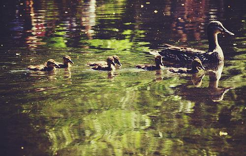 famille-de-canards