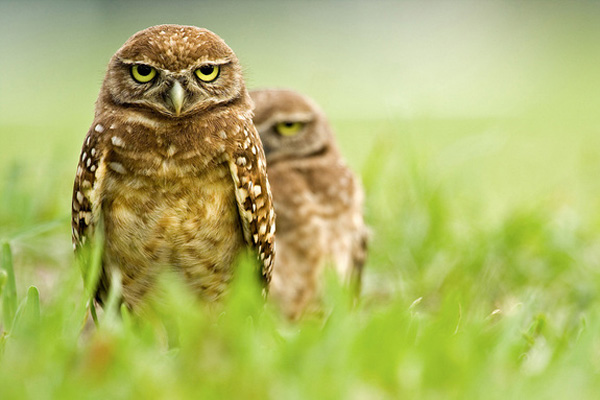 burrowing-owl-600x400