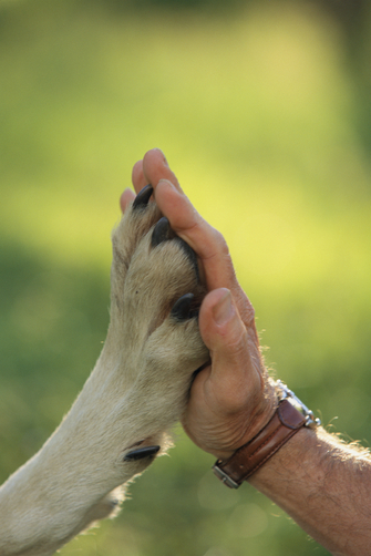 Jim Dutcher places his hand to the paw of a gray wolf, Canis lupus.