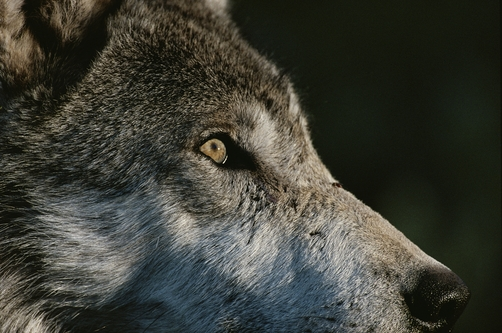 A close view of the face of a gray wolf, Canis lupus, in profile.