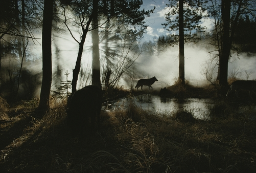 A gray wolf, Canis lupus, in silhouette passes by a woodland pond.