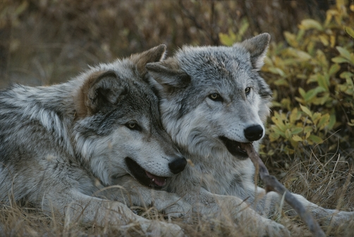 Two gray wolves, Canis lupus, rest after playing with a stick.
