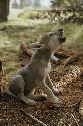 A nine-week-old gray wolf pup, Canis lupus, sits and howls.