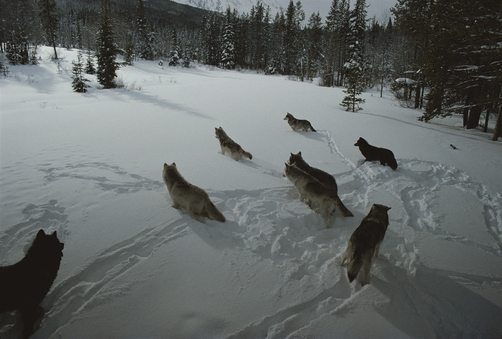 A pack of gray wolves, Canis lupus, gather to get ready for a hunt.