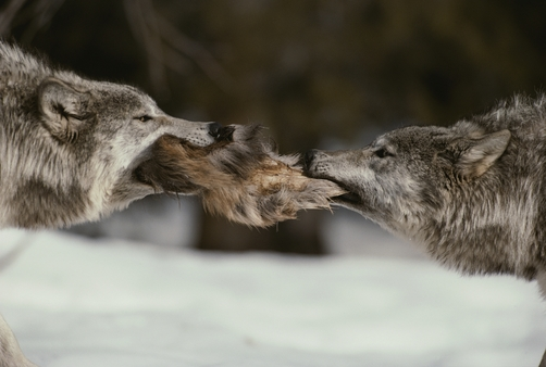 Two gray wolves, Canis lupus, tussle for a scrap of elk hide.