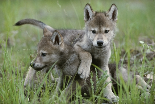 Eight-week-old gray wolf pups, Canis lupus, spar with each other.
