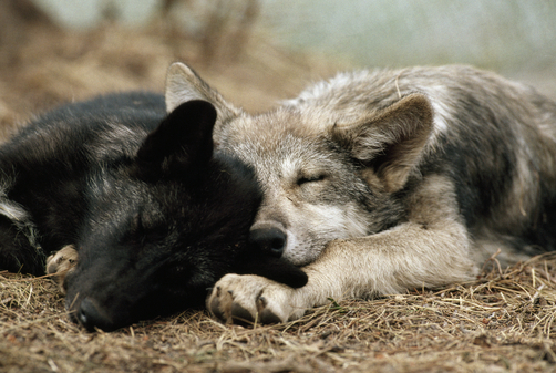 Two sleeping gray wolf pups.